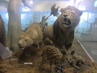 剥製ライオン
