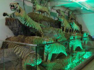 剥製トラ複数