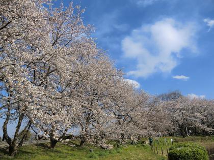 春の石田堤
