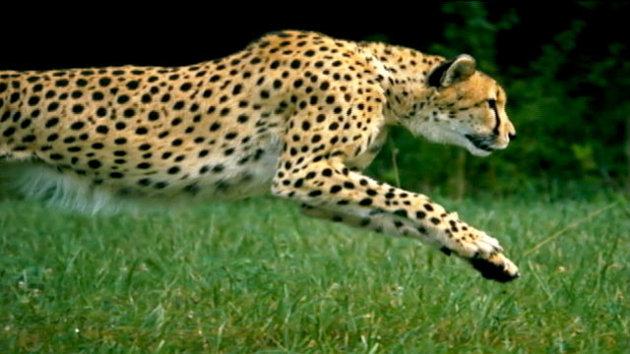 abc_cheetah_mi_121126_wmain.jpg