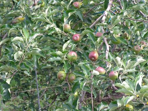 20130622りんご1