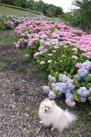 花り団子でちよ