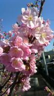 桜13032111