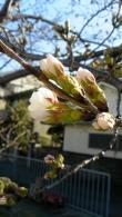 桜1303210