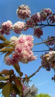 桜1304200