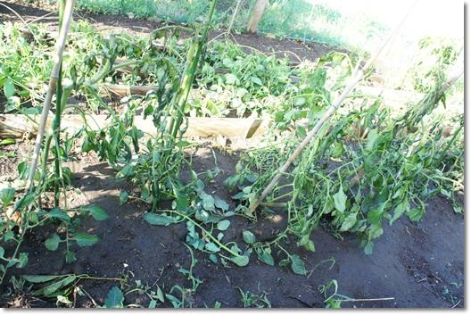 家庭菜園 ダメージ