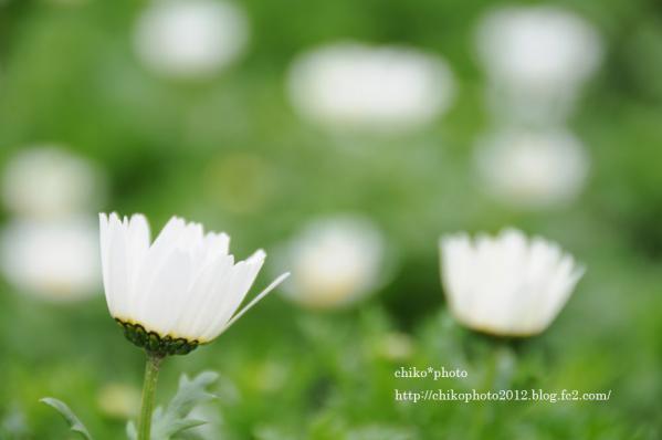 photo-お散歩写真Flowers 白いお花_2
