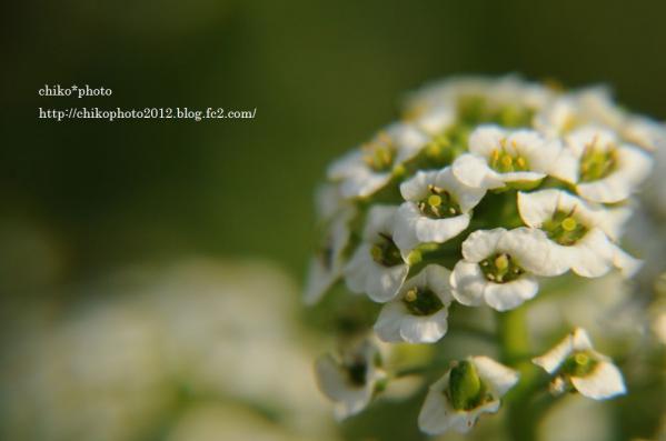 photo-お散歩写真Flowers 白いお花_1