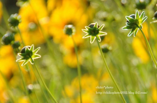photo-お散歩写真Flowers 今から咲くよ_1