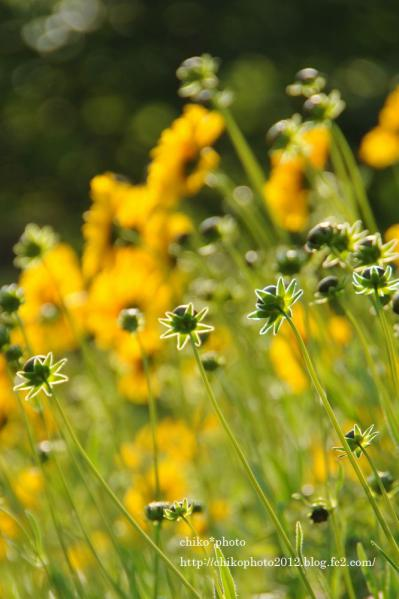 photo-お散歩写真Flowers 今から咲くよ。_2