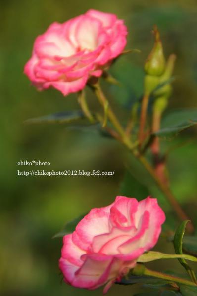 photo-お散歩写真Flowers ピンクの花1_1