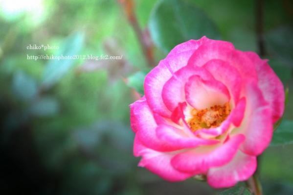 photo-146 お散歩写真Flowers ピンクの花1
