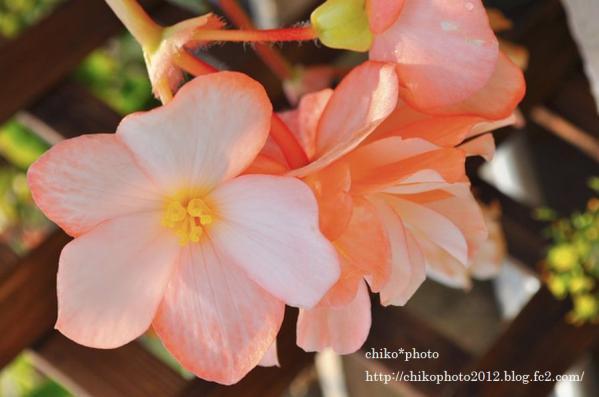 photo-146 お散歩写真Flowers ピンクのお花2