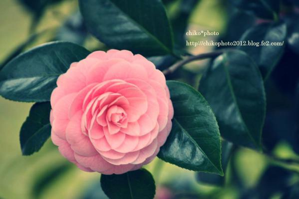 photo-144 お散歩写真Flowers ピンクの花_2
