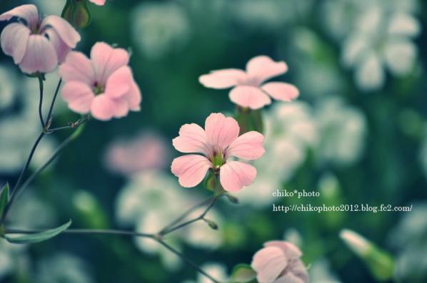 photo-144 お散歩写真Flowers ピンクのお花_1
