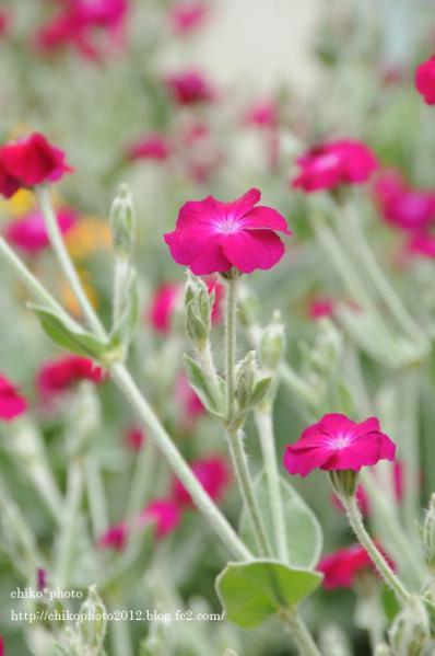 photo-151 お散歩写真Flowers ピンクの花2