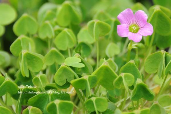 photo-151 お散歩写真Flowers ピンクの花1