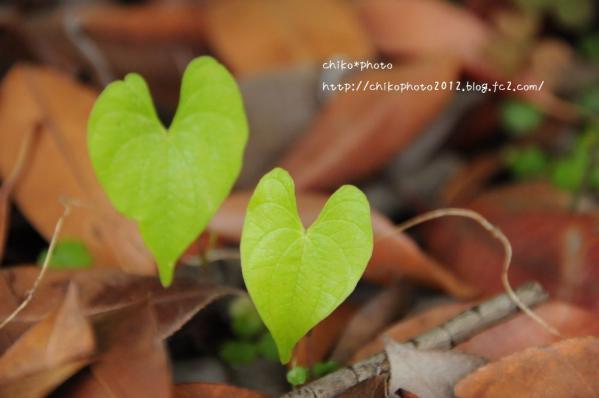 photo-155 ハートの葉っぱ1