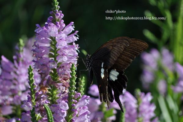 photo158-花にとまる蝶々