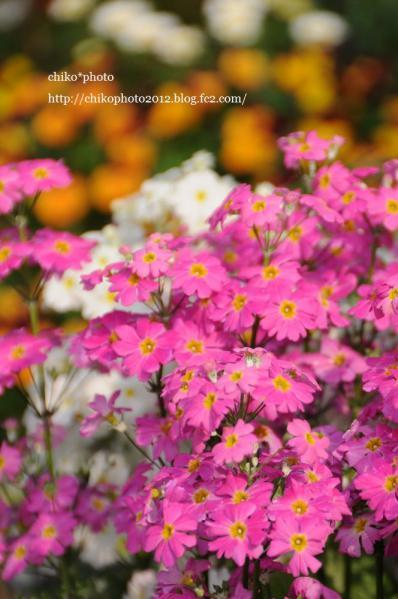 photo-159 お散歩写真Flowers ピンクの花1