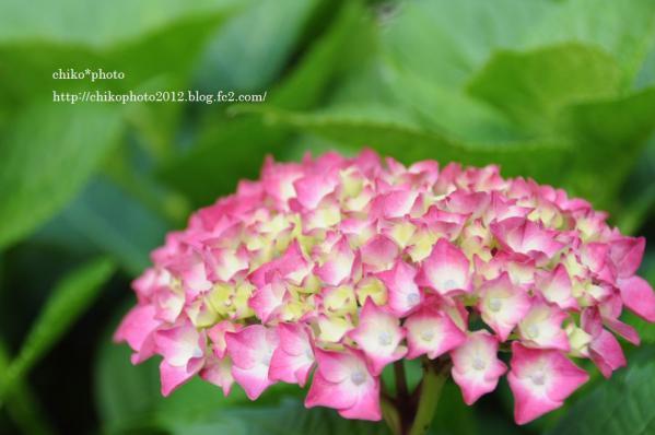 photo-163 お散歩写真Flowers 紫陽花2