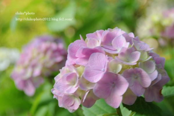 photo-163 お散歩写真Flowers 紫陽花1