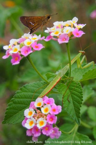 photo-192 ランタナにカマキリと蛾