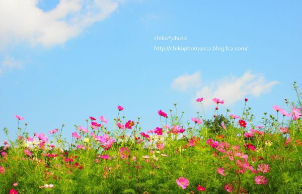 photo-203 コスモスと空