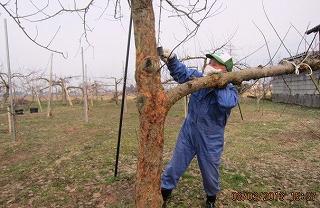 リンゴ粗皮削り