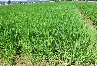 麦の節伸びる