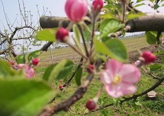 りんご花綻ぶ