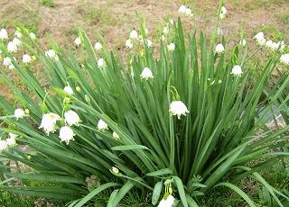 すずらん咲き水仙
