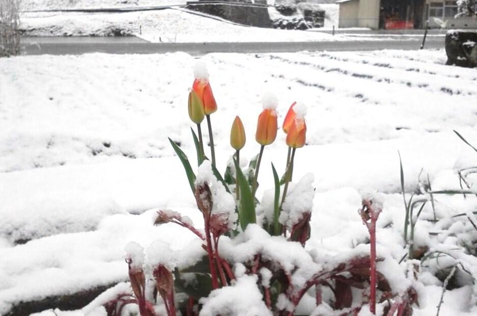 春の雪(平沢)
