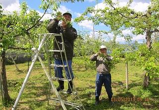 梨摘果採用