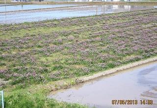 レンゲ稲作