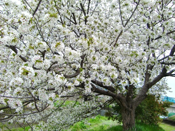 私の最も愛する桜