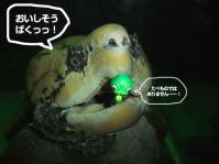 ワニガメ2