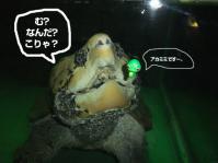 ワニガメ1