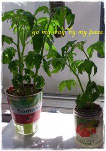 トマト栽培5月