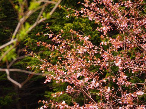 120518桜3