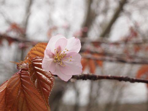 120518桜