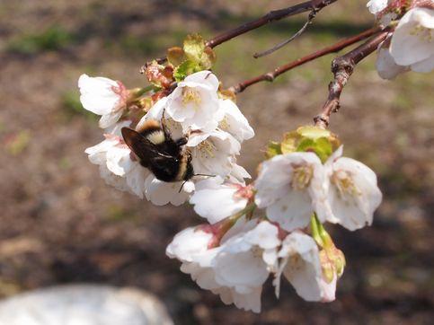 120520桜3