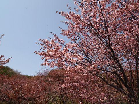 120520桜2