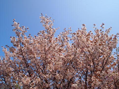 120520桜