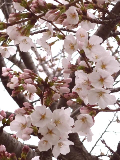 飛鳥川の桜