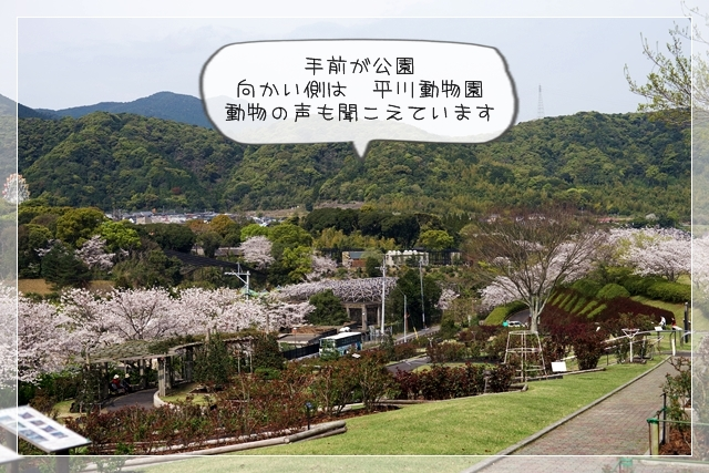 さくら桜01