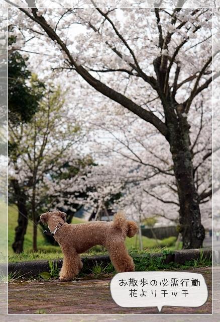 さくら桜02