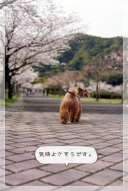 さくら桜05