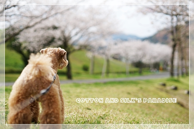 さくら桜06