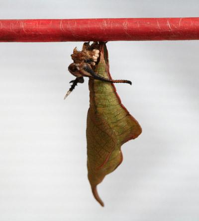 イシガケチョウ蛹